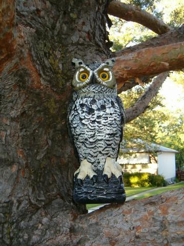 Annes_owl